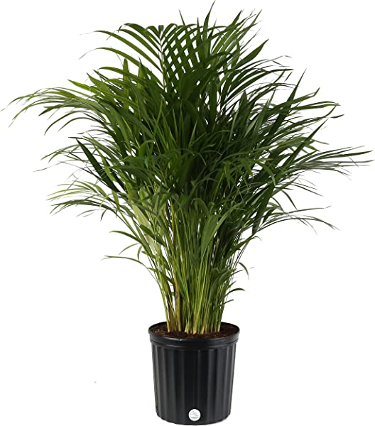 Costa Farms Areca Butterfly Palm Tree Live Indoor Plant 3 To 4 Feet Tall Ships In Grow Pot Fresh From Our Farm Excellent Gift