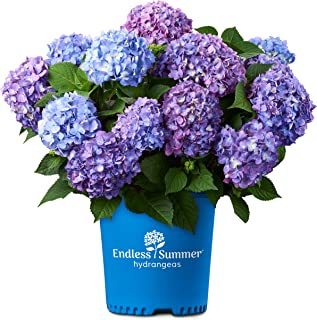 Endless Summer Bloomstruck Hydrangea Shrub 1 Gal. Bloomstruck Hydrangea, 1 Gal