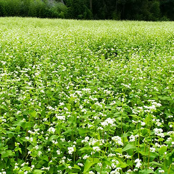 Buckwheat Seeds 50 Lb Bulk Organic Non GMO Whole Shell On Grow Buck Wheat Microgreens Lettuce