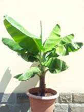 Musa - 'Dwarf Cavendish' - Banana Tree GG