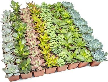 Altman Plants - Live Succulent Plants (64 Pack) Assorted Potted Succulents Plants Live House Plants in Cacti and Succulent So