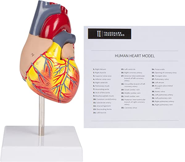 Trademark Innovations 4 3 2 Piece Human Heart Model Life Size