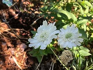 P132S. Scabiosa caucasica 'Perfecta Alba' - 30 Seeds