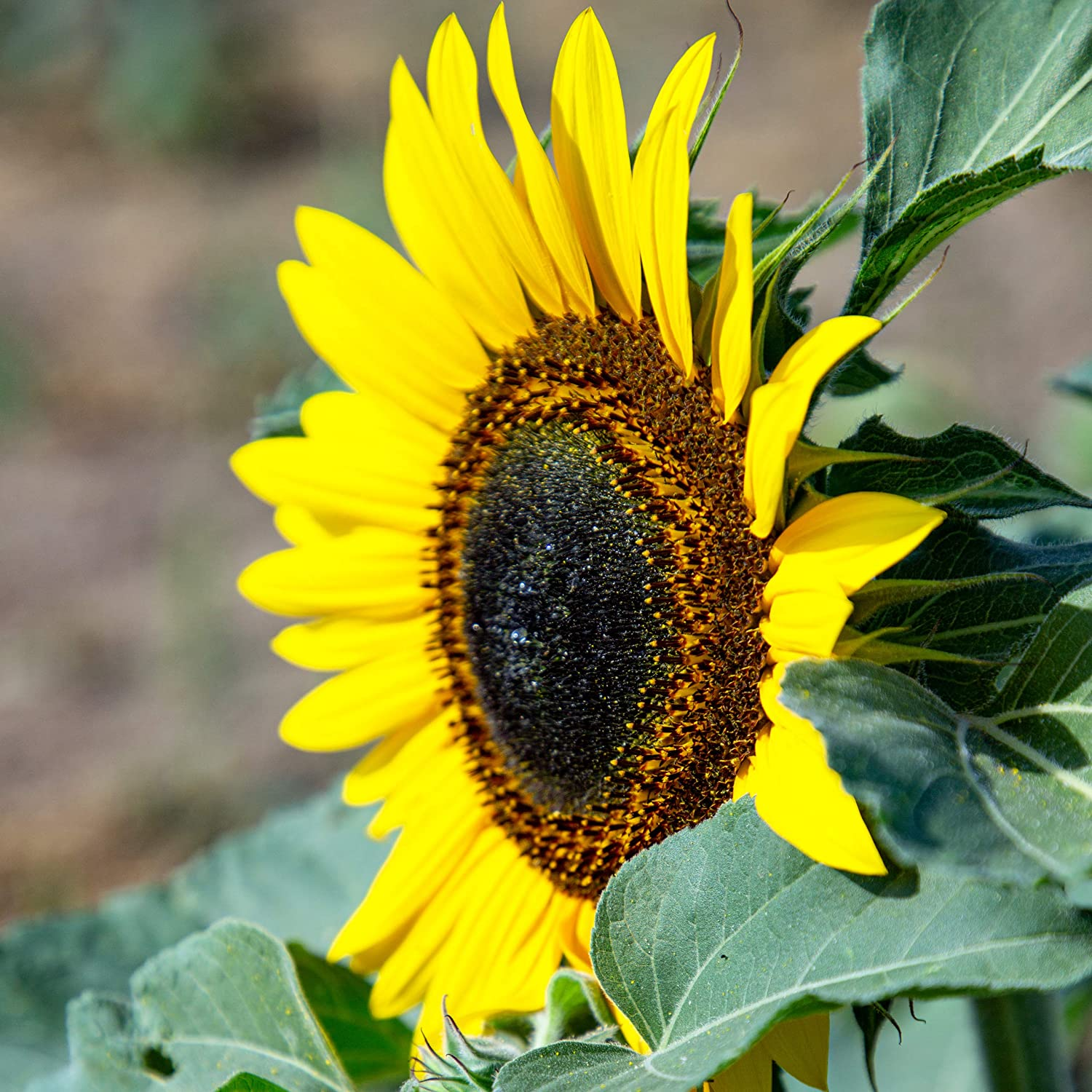 Flower Seeds for Gardening Flowers 30 Evening Sun Flower Plants Large Sunflower Seeds for Planting Wild Flower Seeds by OwnGrown Grow Your Own Sunflower: Premium Giant Sunflower Seeds to Grow ca