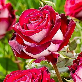 "Rosa""Rose Gaujard""   Rote Rose   Große Blüten   Edelrose   Lieferhöhe ca. 40cm"