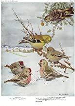 """1926 Vintage TODHUNTER BIRDS /""""GOLDFINCH/"""" LOVELY 90 YEARS OLD Color Lithograph"""