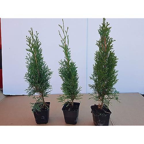 80-100cm  Heckenpflanzen /% Super Sale /% Hecke Thuja Brabant 50st