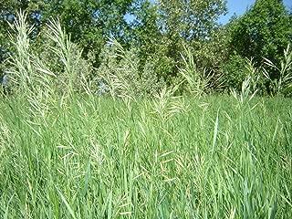West Seed Farm 10 Sweet Grass Seeds (Heirochloe Odorata)