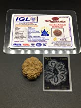 8 Mukhi Nepal Rudraksha 26.91mm 5.93 GMS /Eight Face/ Lord Ganesh Super Collector Rare Bead with 8 Seeds IGL Certified Exa...