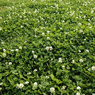 Outsidepride White Dutch Clover Seed: Nitro-Coated, Inoculated - 10 LBS
