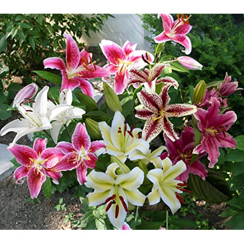 style top sélection mondiale de qualité incroyable Asiatic Lily Bulbs: Amazon.com