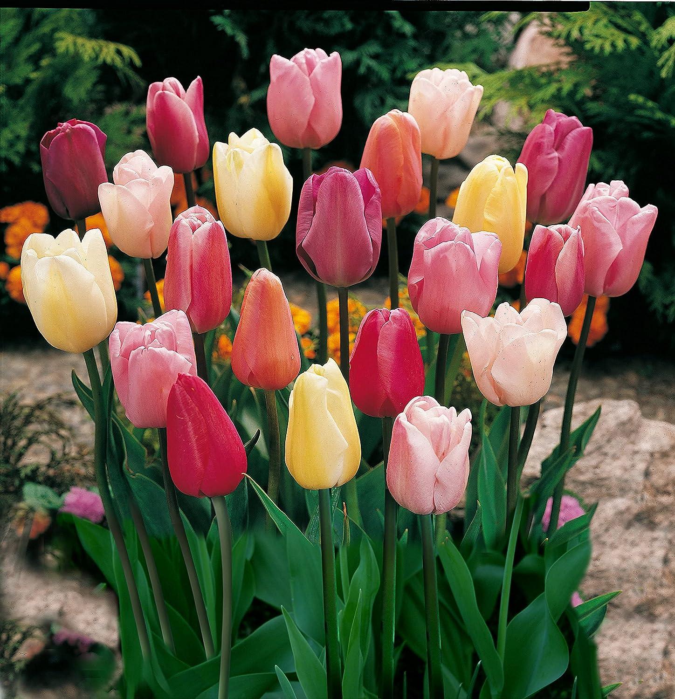 Mixed Triumph Tulip - 50 bulbs