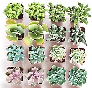 Shop Succulents | Premium Pastel Live Plants, Hand Selected Variety Pack Mini Succulents | Collection of 16