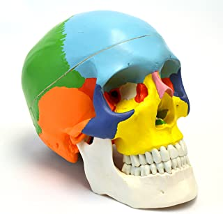 Didactic Colored Human Skull Anatomical Model, Medical Quality, Life Sized (9