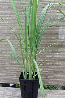 Lemongrass Plants - Non GMO - TWO (2) LIVE PLANTS - Not Lemongrass Seeds.Lemon Grass Herb Cymbopogon - NATURAL MOSQUITO REPELLENT PLANTS