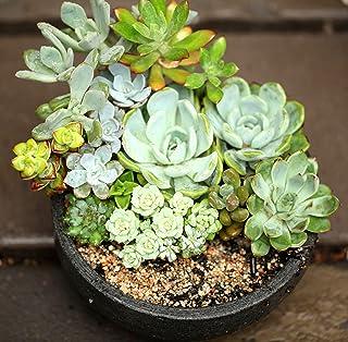 100Pcs Succulent Plants Cactus Seeds Home Office Balcony Bonsai Decor Code