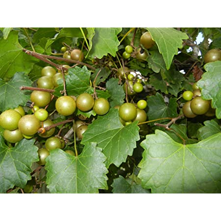 Details about  /20 thin cuttings of organic Bronze Carlos Muscadine Grapevine