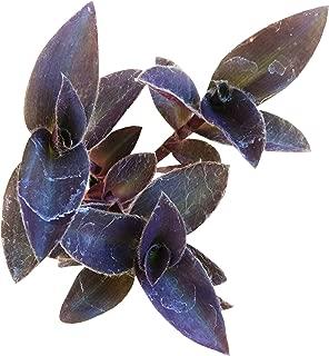 Purple Heart Tradescantia Pallida Purple Queen Wandering Jew 'Purpurea' Plant (4 inch)