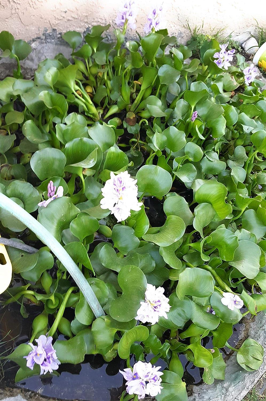Water Hyacinth Pond Plant Live Plants Bundle of 20 Aquarium Plants  Floating Product Name