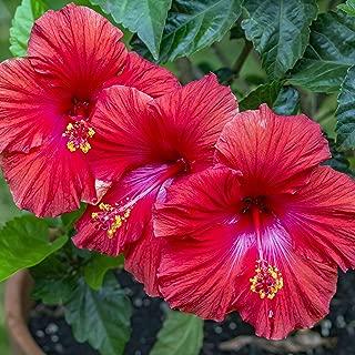 Red Hibiscus Slips Tropical Hawaiian 2 Pack D300