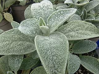 (PLE)~Velvet~LAMB'S EARS~Seeds!!~~Put Texture In Your Garden!