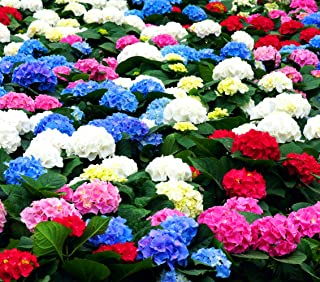 50 Pcs Mixed Blue Hydrangea Seeds Giant Snowball Hydrangea Fast Growing