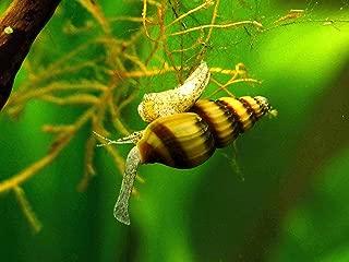 Aquatic Arts 3 Live Assassin Snails/Clea Helena | Pest Snail Remover/Pond Snail Control | Mini Nano Aquarium Tank Maintenance