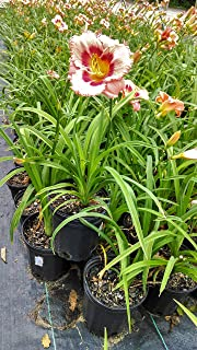 Hemerocallis 'Strawberry Candy' (Daylily) Perennial, pink flowers with raspberry center, 1 - Size Container