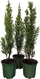 Sandys Nursery Online Cypress Italian Cupressus sempervirens 'Stricta', Lot of 6, 4 Inch Pot