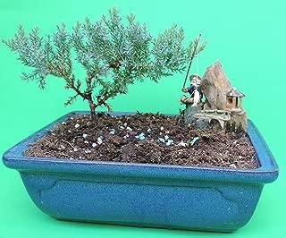 Fertilized Juniper bonsai tree with blue glazed handmade vase sold by JM Bamboo