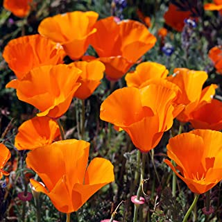 Outsidepride California Poppy Wildflower Seed - 1 LB