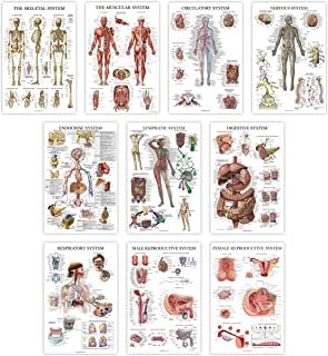 10 Pack - Anatomy Posters - Paper (Not Laminated) - Muscular, Skeletal, Digestive, Respiratory, Circulatory, Endocrine, Ly...