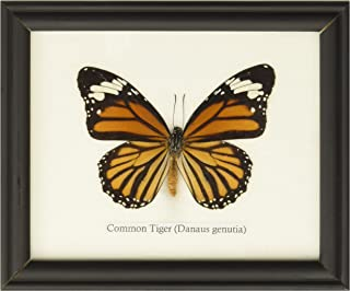 INSECTFARM BTF01Q Framed Real Common Tiger Butterfly Collection Display Insect Taxidermy