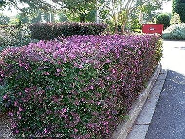 Loropetalum 'Plum Delight' - Chinese Fringe Flower - 10 Live Plants - Evergreen Flowering Shrub