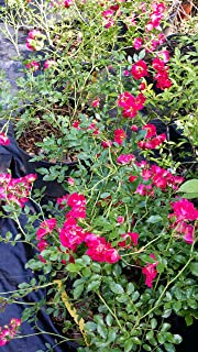 (1 Gallon) RED Cascade Rose, Miniature red Flowers,Weeping, Climber, Ground Cover and for Trellis,