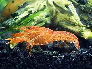 Aquatic Arts - CPO Crayfish (Male/Female Pair) - Live Freshwater Aquarium Lobster/Crawfish/Crawdad/Real Living Nano Fish Tank Pet