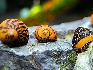 Aquatic Arts 3 Live B-Grade Gold Racer Nerite Snails | Algae Scraper/Aquarium Nano Tank Substrate Cleaner | Safe with Betta/Tetra/Guppy Fish