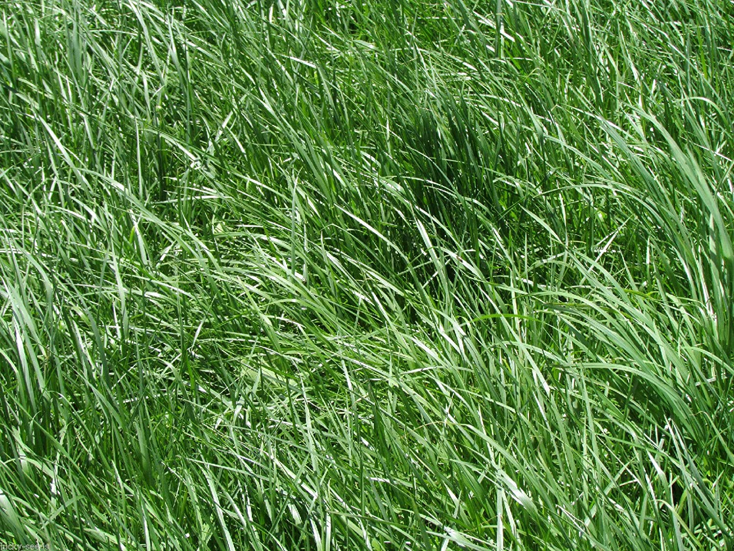 Somarac - Kentucky 31 Tall Fescue Ranking TOP4 Selling and selling 10