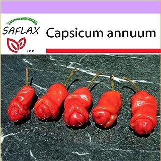 SAFLAX - Chili - Peter Peppers Penis Chili - 10 Samen - Capsicum annuum