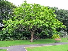 10 Seeds of Arjun Tree Terminalia Arjuna Marudha Maram or Neer Maruthu for Growing
