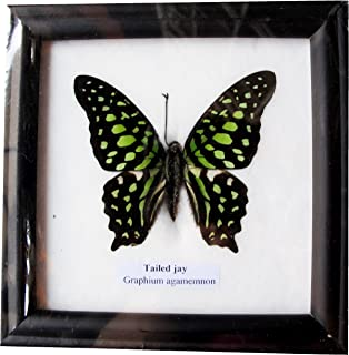 RARE FRAMED REAL BEAUTIFUL TAILED JAY BUTTERFLY DISPLAY INSECT TAXIDERMY 5