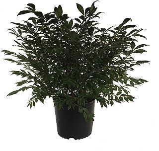 Premier Plant Solutions 16269 Euonymus Alatus Compactus Dwarf Burning Bush, 3 Gallon, Green/Red