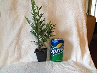 Best small thuja trees Reviews