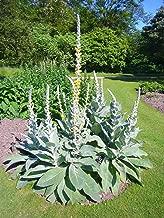 100 White Blush Verbascum Blattaria Albiflorum Moth Mullein Flower Seeds #SFB