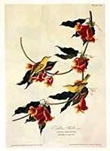 Audubon Rathbone's Warbler Bird Art Print - 7 in x 10 in Unmatted