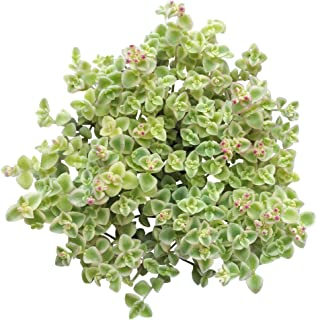 Best variegated trailing succulents Reviews