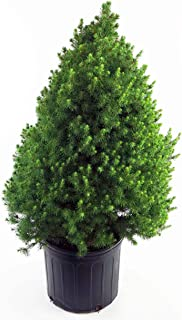 dwarf alberta spruce care