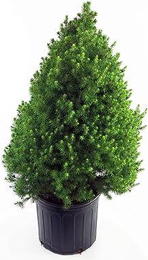 Picea glauca 'Conica' (Dwarf Alberta Spruce) Evergreen, #3 - Size Container
