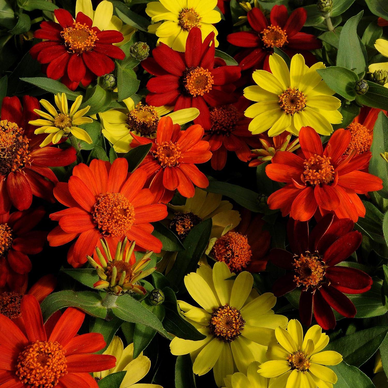 Outsidepride 2021 Zinnia Zahara Bonfire Flower Seeds Seed 50 - All items free shipping Mix