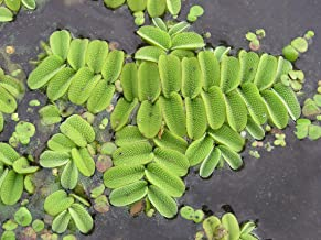 M-Tech Gardens Rare Floating Watermoss (Salvinia natans) Floating fern 3 Live Aquatic Plants for Growing